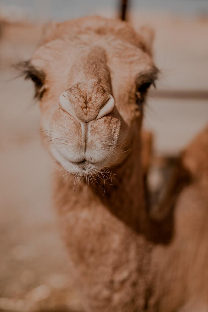 Maroko - wycieczki, wielbłąd w Merzoudze