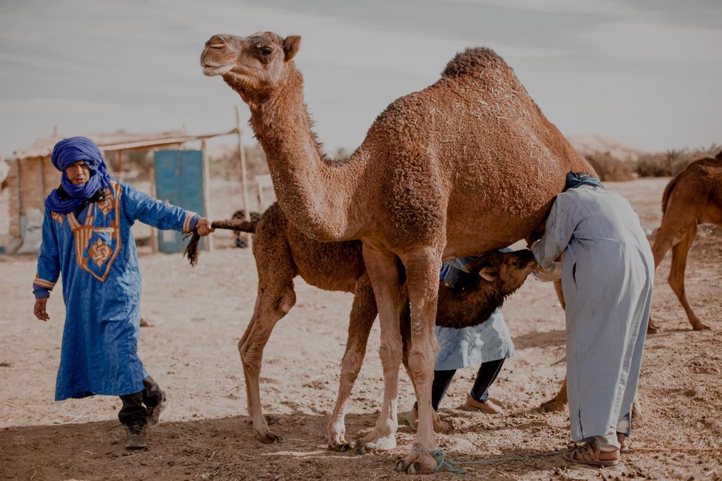 Wielbłądy na pustyni w Maroku, Erg Chebbi - Sahara