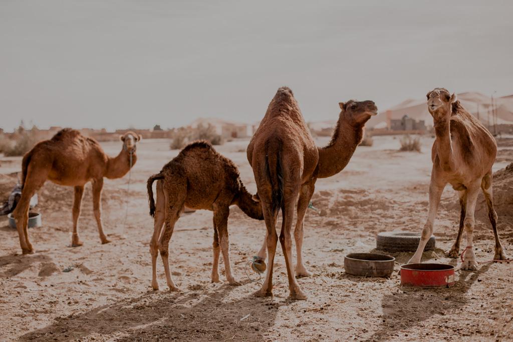 Wielbłądy na Saharze, wycieczki