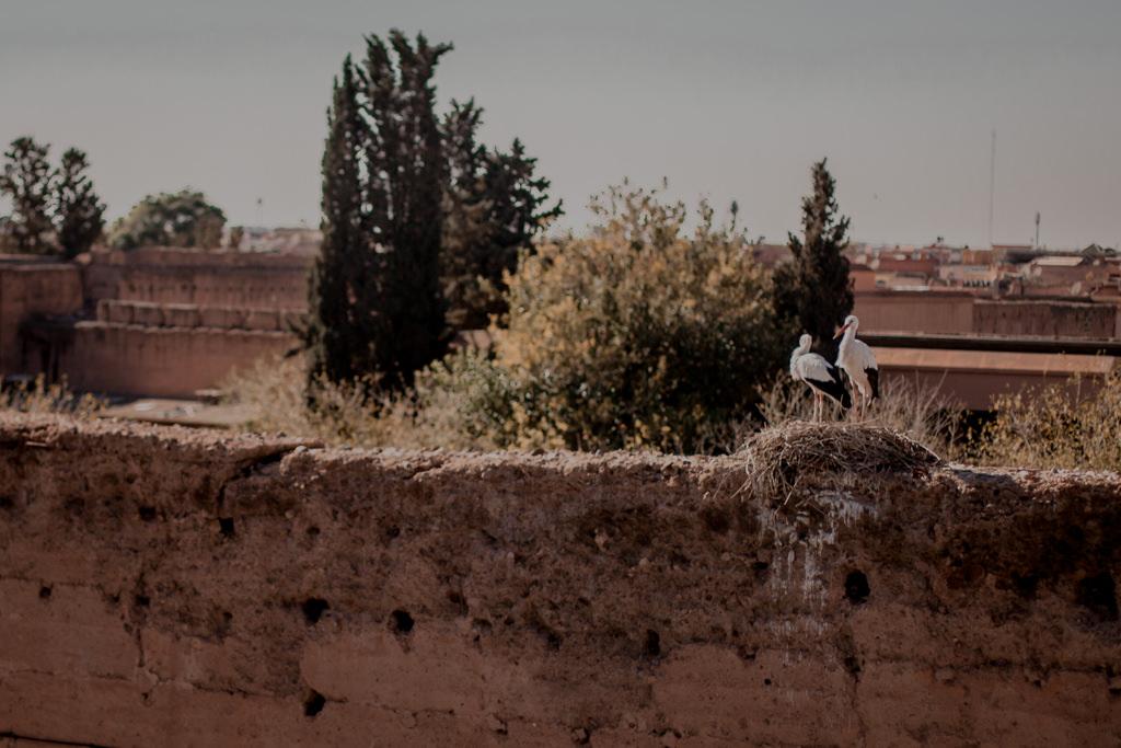 Bociany w Marrakeszu