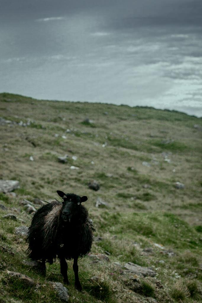 Fugloy, Wyspy Owcze i owca
