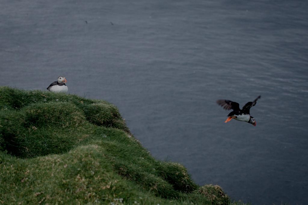 Maskonur. Wyspy Owcze, Islandia