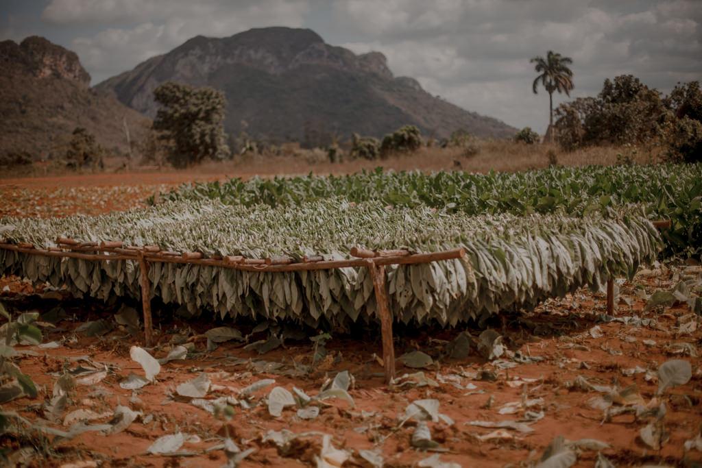 Jak się robi cygaro? Uprawa tytoniu na Kubie
