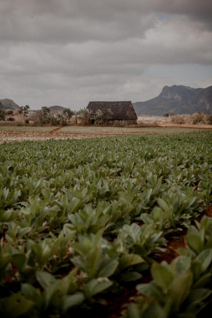 Uprawa tytoniu. Kuba - rum, cygara i plantacje w Vinales
