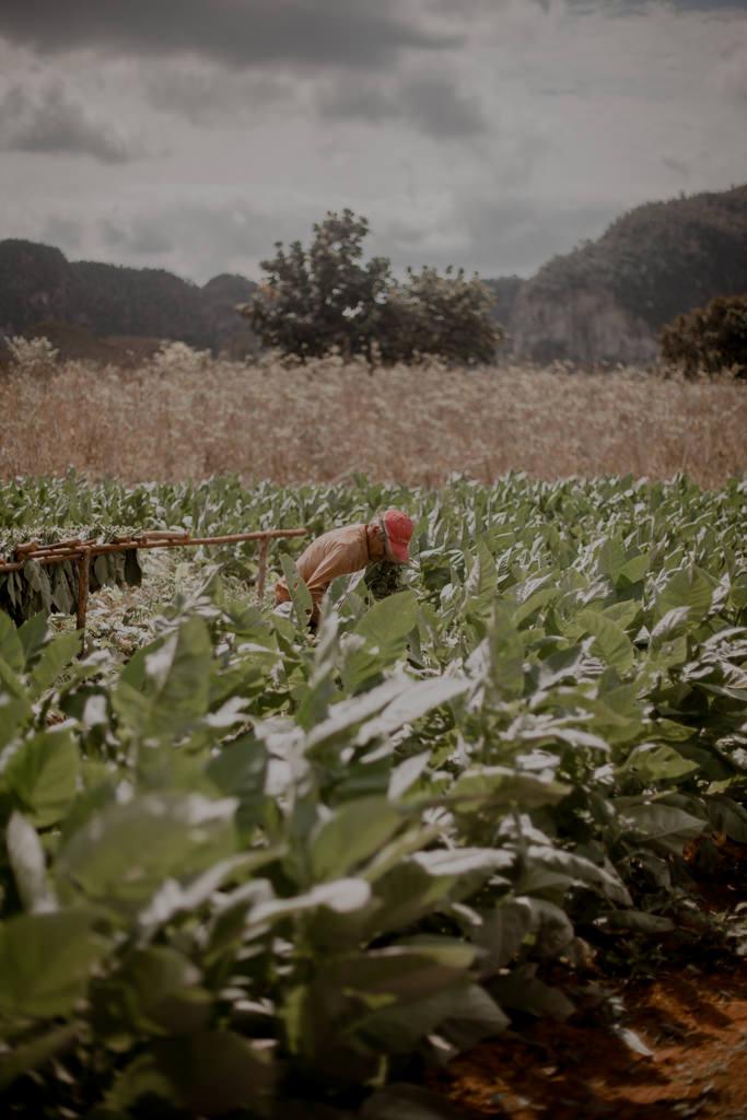 Vinales - Kuba, cygara, rum. Najlepsze kubańskie wyroby