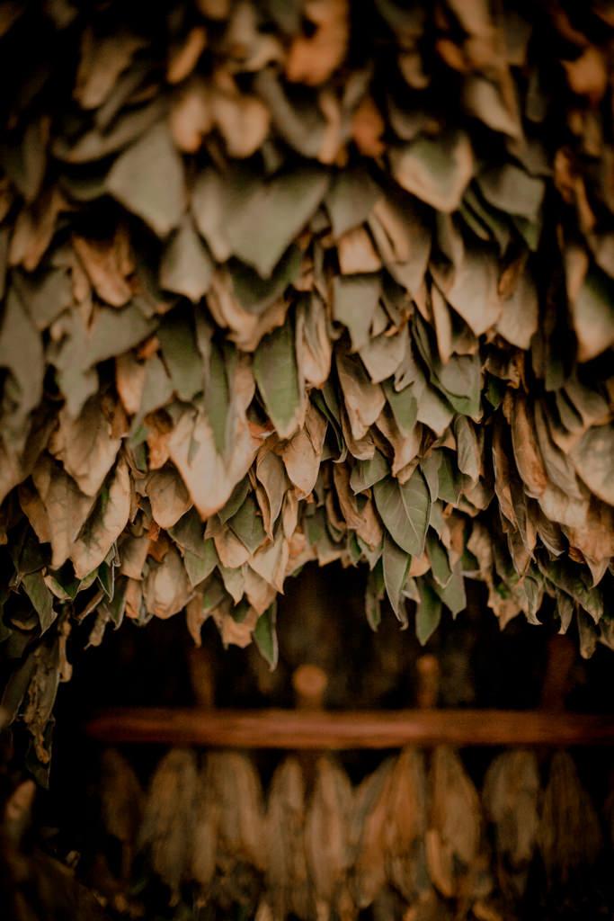 Kuba - uprawa tytoniu na kubańskie cygaro