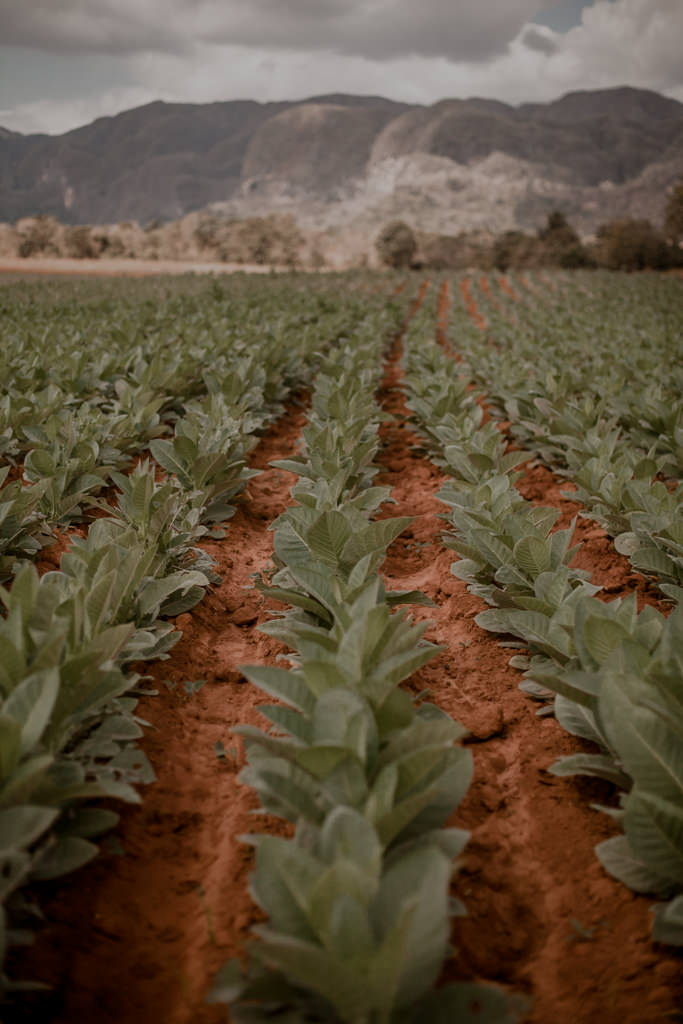 Jak robi się cygaro? Plantacje tytoniu na Kubie. Kuba - cygara, rum