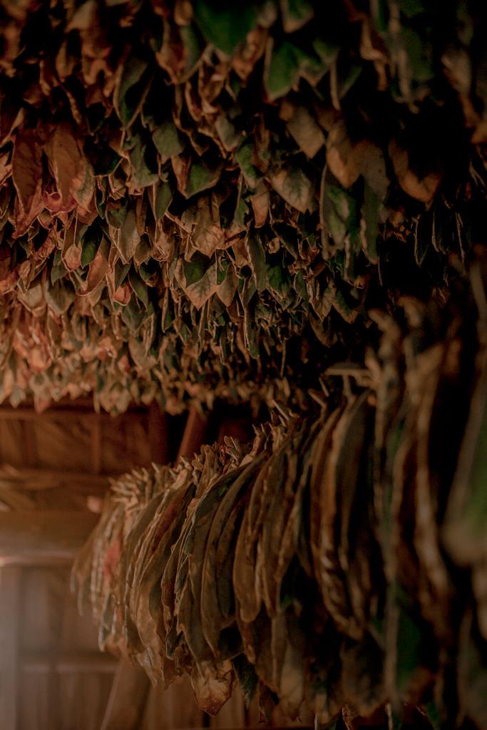 Tytoń, plantacje, cygara, rum. Co zobaczyć na Kubie? Produkcja cygara na Kubie