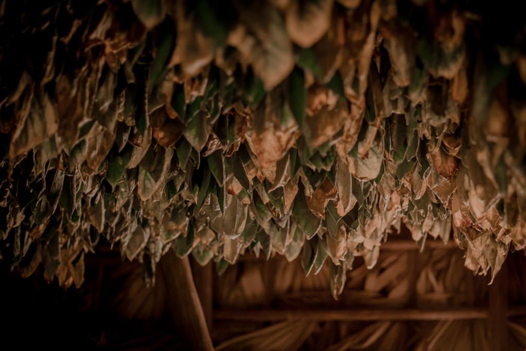 Uprawa tytoniu. Ziarna tytoniu na Kubie - najlepsze kubańskie cygara