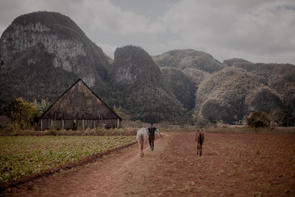 Vinales, Kuba - plantacje tytoniu, najlepsze kubańskie cygara