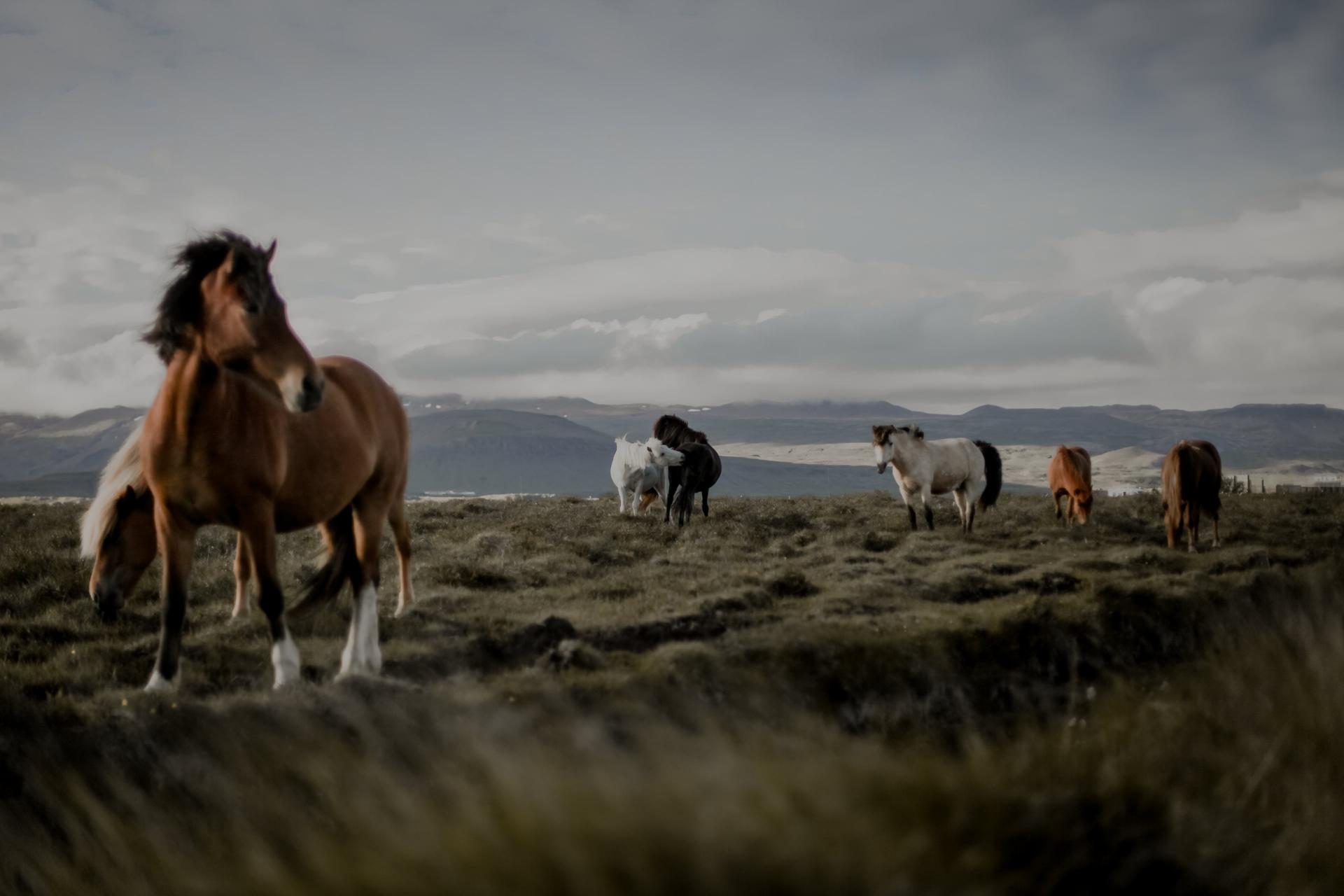 Atrakcje na Islandii - wulkany, baseny geotermalne i koniki