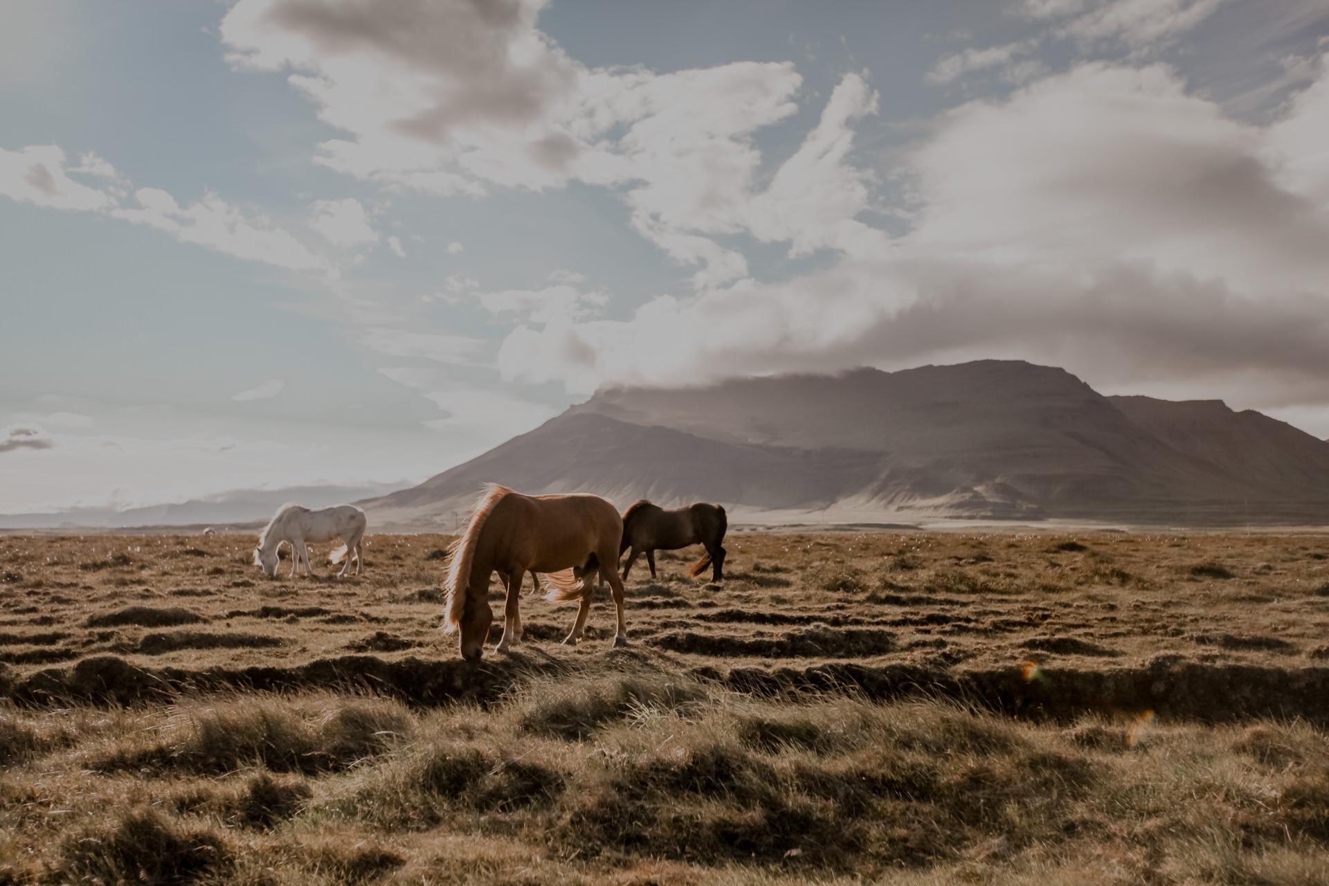 Islandia. Islandzkie koniki - islandery