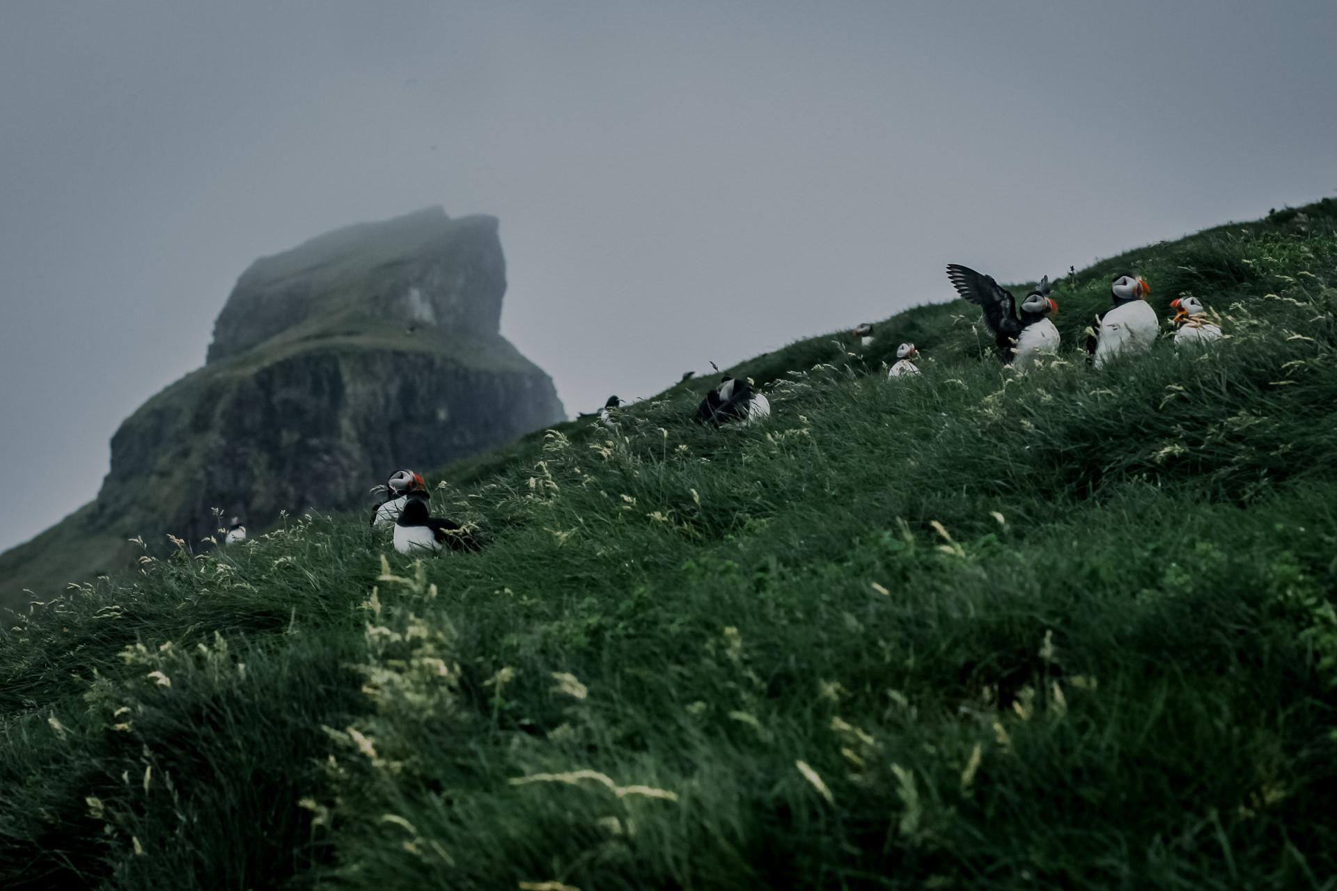 Przepiękne maskonury na Wyspach Owczych